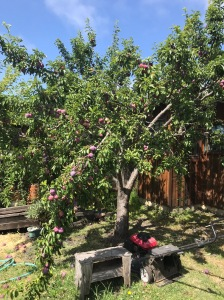Plum tree with boughs hanging down